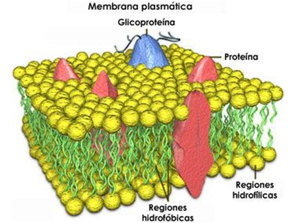 FACTORES QUE AFECTAN LA DIFUSIÓN A TRAVÉS DE MEMBRANAS 1.LIPOSOLUBILIDAD: Cuanto más liposoluble sea un soluto, más fácilmente será atravesado por la membrana.