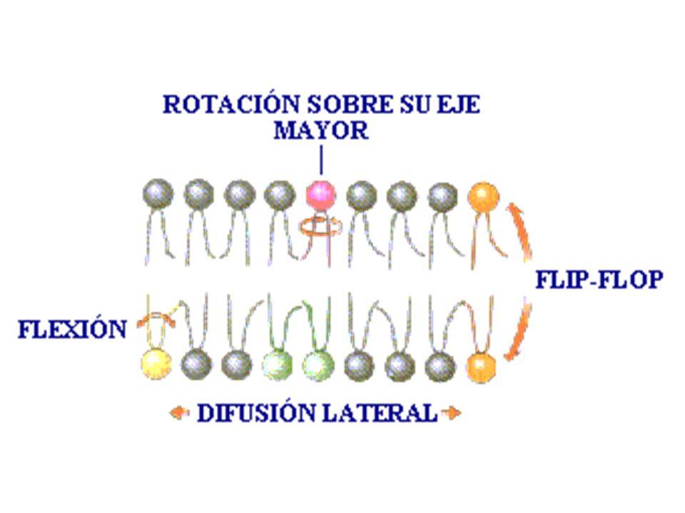 MECANISMO DE TRANSPORTE ACTIVO Implica: -Membrana celular.