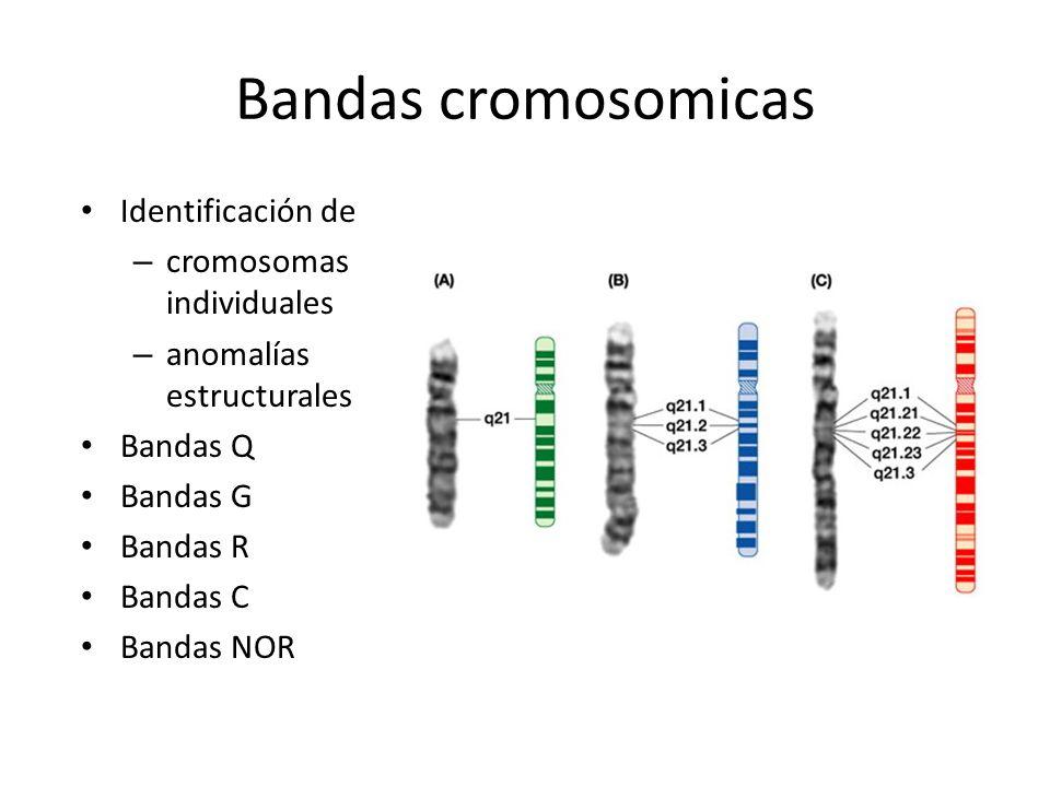 Bandas cromosomicas Identificación de – cromosomas individuales – anomalías estructurales Bandas Q Bandas G Bandas R Bandas C Bandas NOR