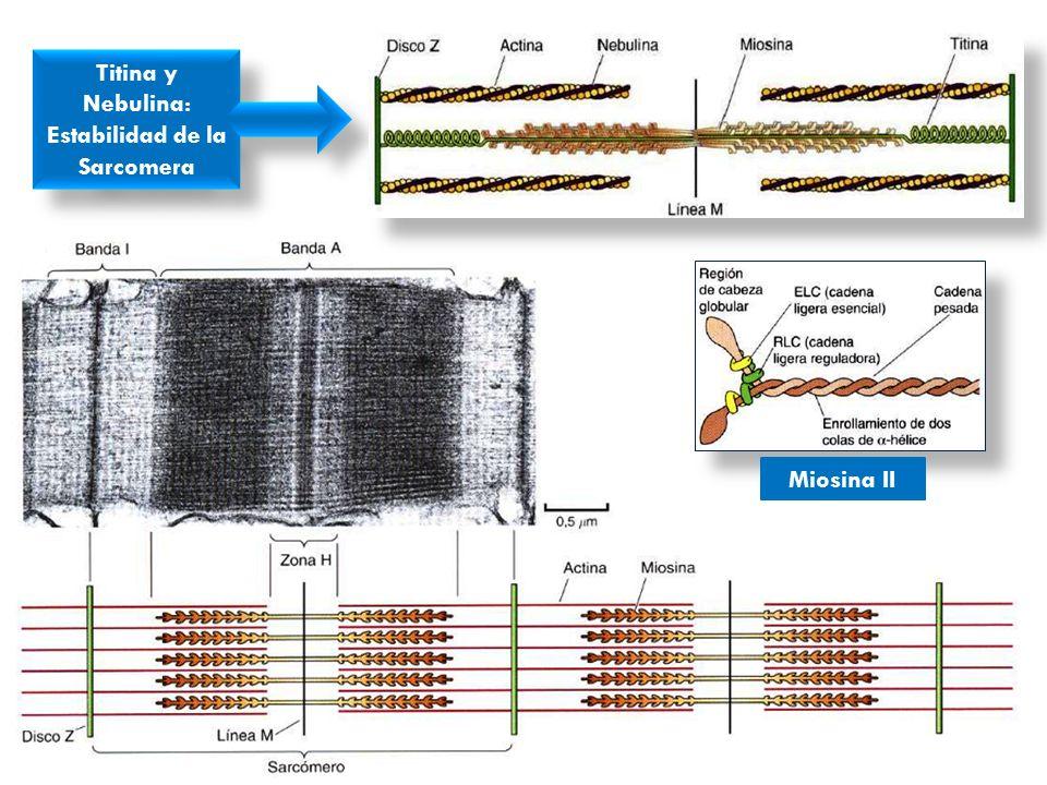 Titina y Nebulina: Estabilidad de la Sarcomera Titina y Nebulina: Estabilidad de la Sarcomera Miosina II