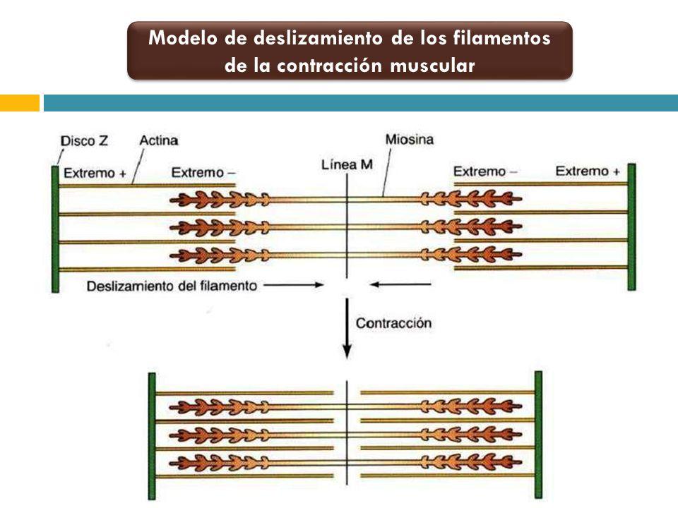 Modelo de deslizamiento de los filamentos de la contracción muscular