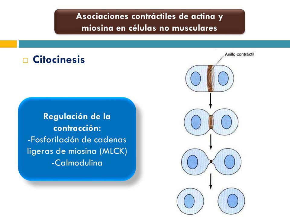 Citocinesis Asociaciones contráctiles de actina y miosina en células no musculares Regulación de la contracción: -Fosforilación de cadenas ligeras de
