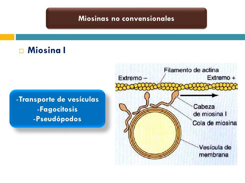 Miosina I Miosinas no convensionales -Transporte de vesículas -Fagocitosis -Pseudópodos -Transporte de vesículas -Fagocitosis -Pseudópodos