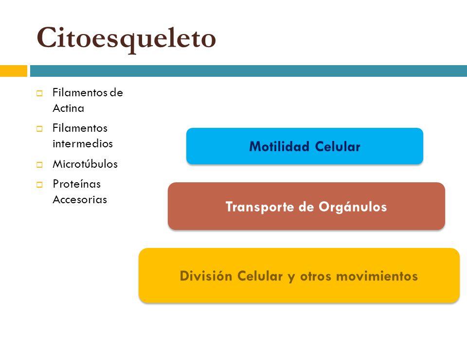 Citoesqueleto Filamentos de Actina Filamentos intermedios Microtúbulos Proteínas Accesorias Motilidad Celular División Celular y otros movimientos Tra
