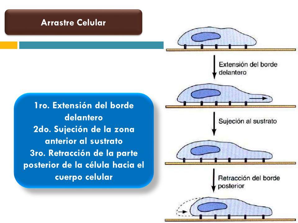 Arrastre Celular 1ro. Extensión del borde delantero 2do. Sujeción de la zona anterior al sustrato 3ro. Retracción de la parte posterior de la célula h