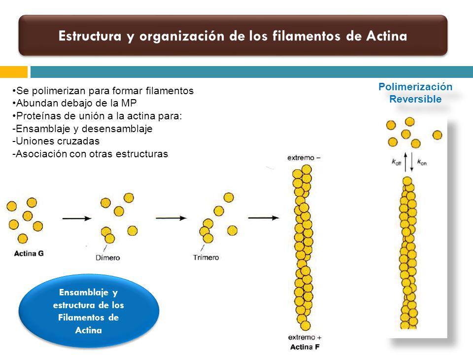 Polimerización Reversible Estructura y organización de los filamentos de Actina Ensamblaje y estructura de los Filamentos de Actina Se polimerizan par