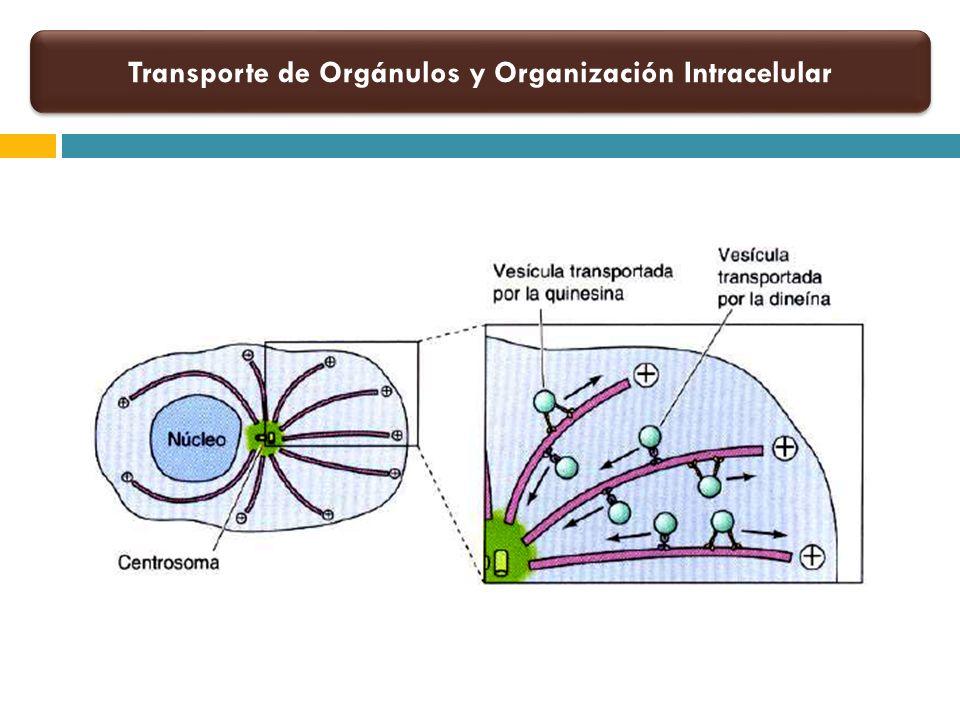 Transporte de Orgánulos y Organización Intracelular