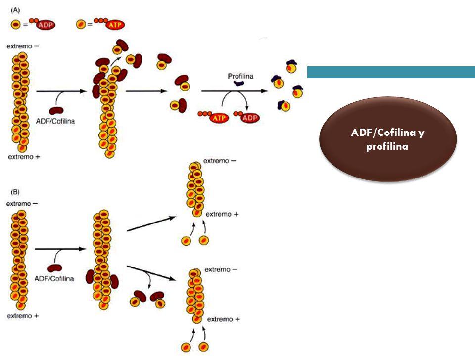 Microtúbulos -Vincristina y Vinblastina -Colchicina y Colcemida -Taxol -Vincristina y Vinblastina -Colchicina y Colcemida -Taxol Inestabilidad dinámica de los Microtúbulos