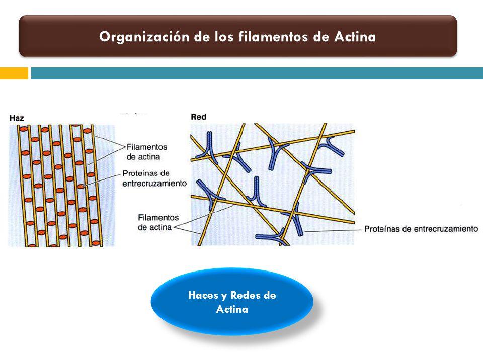 Organización de los filamentos de Actina Haces y Redes de Actina