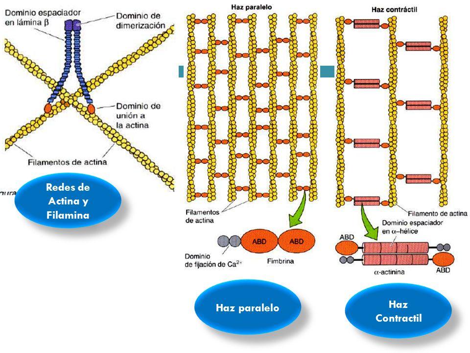 Haz Contractil Haz paralelo Redes de Actina y Filamina