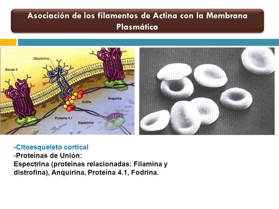 Microtúbulos durante la Mitosis