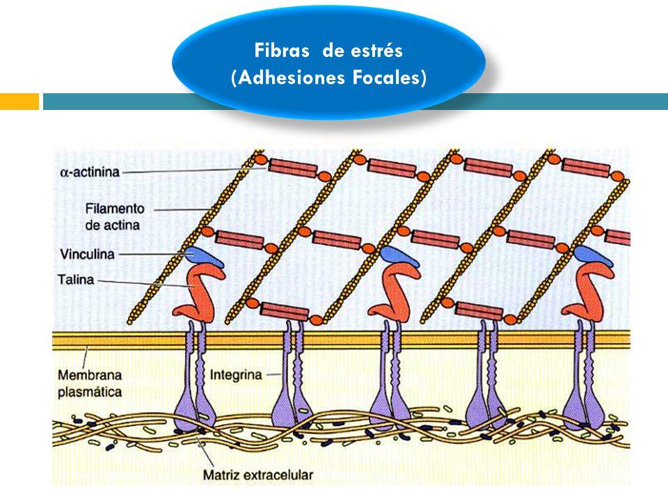 Fibras de estrés (Adhesiones Focales)