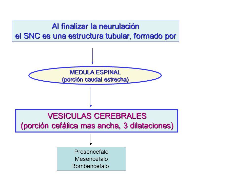 Al finalizar la neurulación el SNC es una estructura tubular, formado por MEDULA ESPINAL (porción caudal estrecha) VESICULAS CEREBRALES (porción cefál