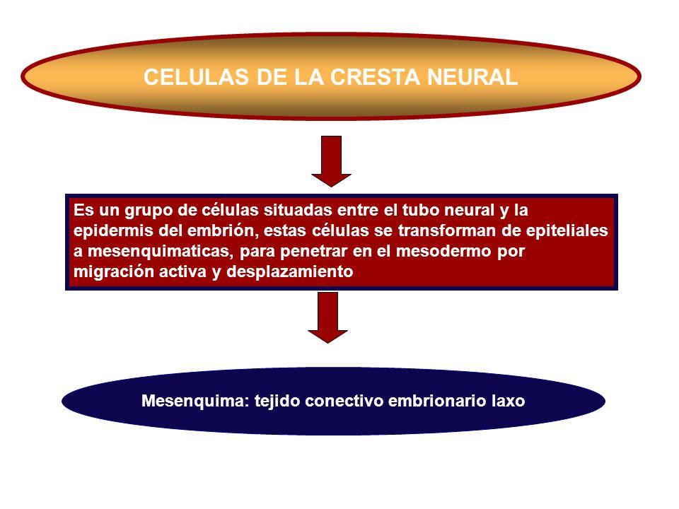 CELULAS DE LA CRESTA NEURAL Es un grupo de células situadas entre el tubo neural y la epidermis del embrión, estas células se transforman de epitelial