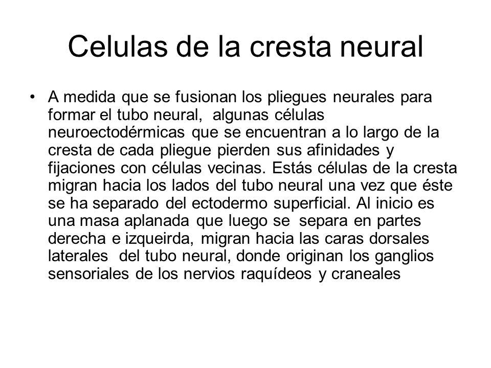 Celulas de la cresta neural A medida que se fusionan los pliegues neurales para formar el tubo neural, algunas células neuroectodérmicas que se encuen