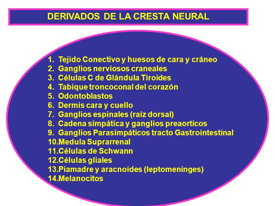 DERIVADOS DE LA CRESTA NEURAL 1.Tejido Conectivo y huesos de cara y cráneo 2.Ganglios nerviosos craneales 3.Células C de Glándula Tiroides 4.Tabique t