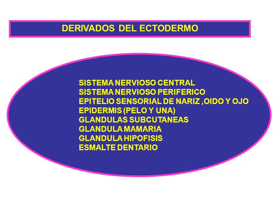 DERIVADOS DEL ECTODERMO SISTEMA NERVIOSO CENTRAL SISTEMA NERVIOSO PERIFERICO EPITELIO SENSORIAL DE NARIZ,OIDO Y OJO EPIDERMIS (PELO Y UNA) GLANDULAS S