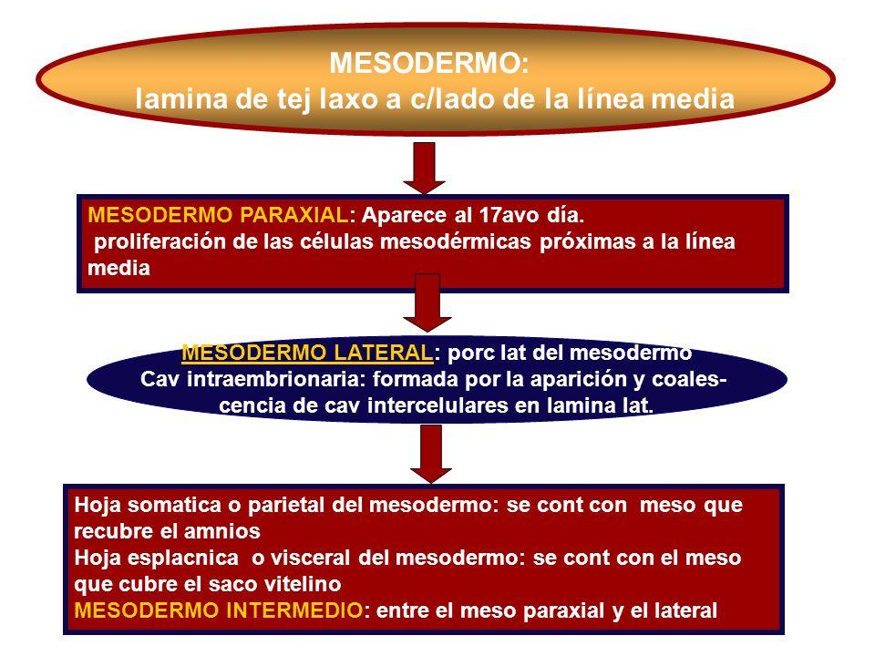 MESODERMO: lamina de tej laxo a c/lado de la línea media MESODERMO PARAXIAL: Aparece al 17avo día. proliferación de las células mesodérmicas próximas