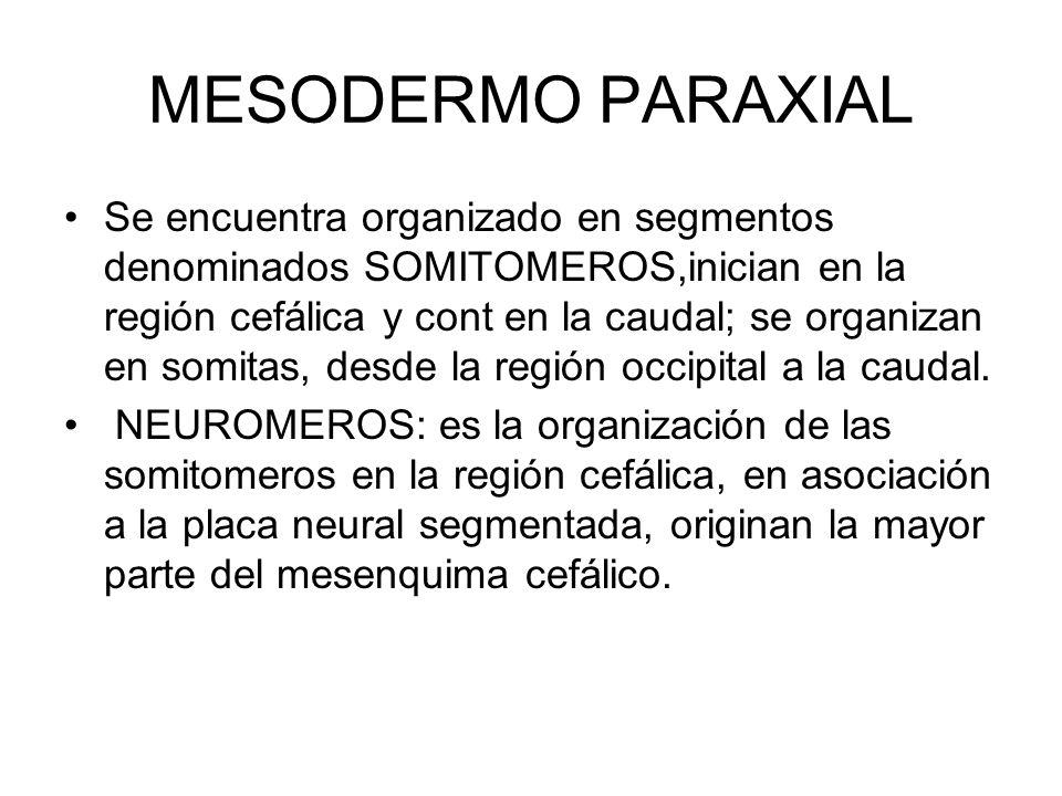 MESODERMO PARAXIAL Se encuentra organizado en segmentos denominados SOMITOMEROS,inician en la región cefálica y cont en la caudal; se organizan en som