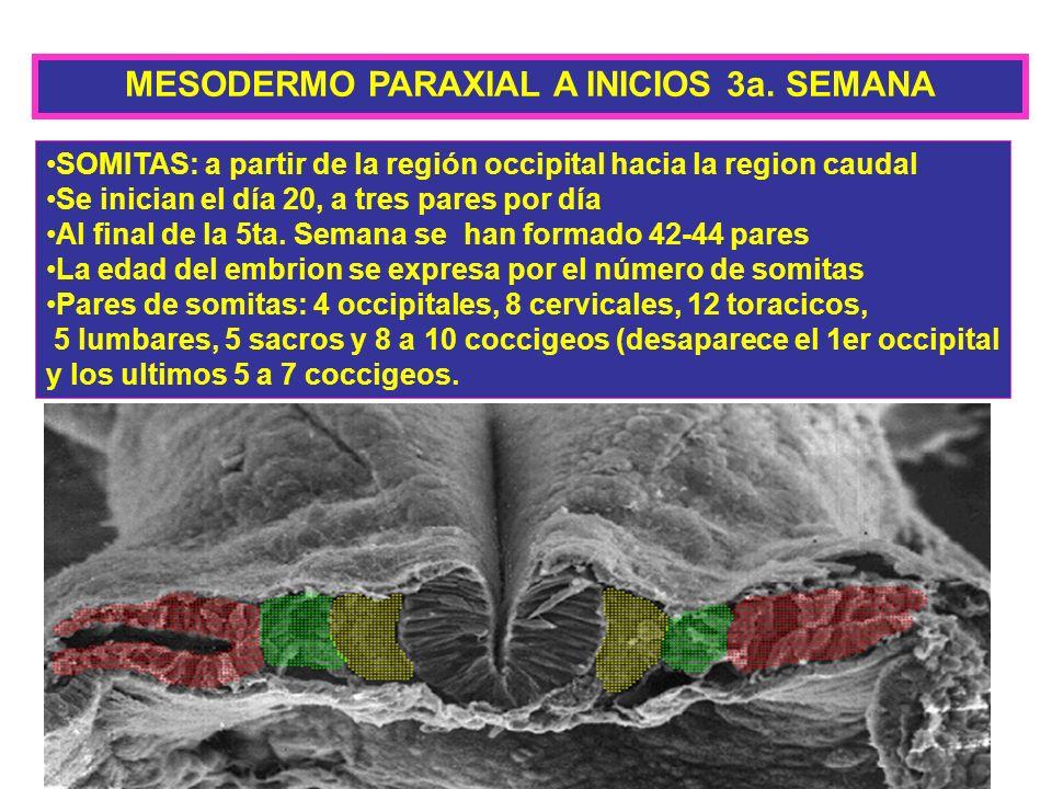 MESODERMO PARAXIAL A INICIOS 3a. SEMANA SOMITAS: a partir de la región occipital hacia la region caudal Se inician el día 20, a tres pares por día Al