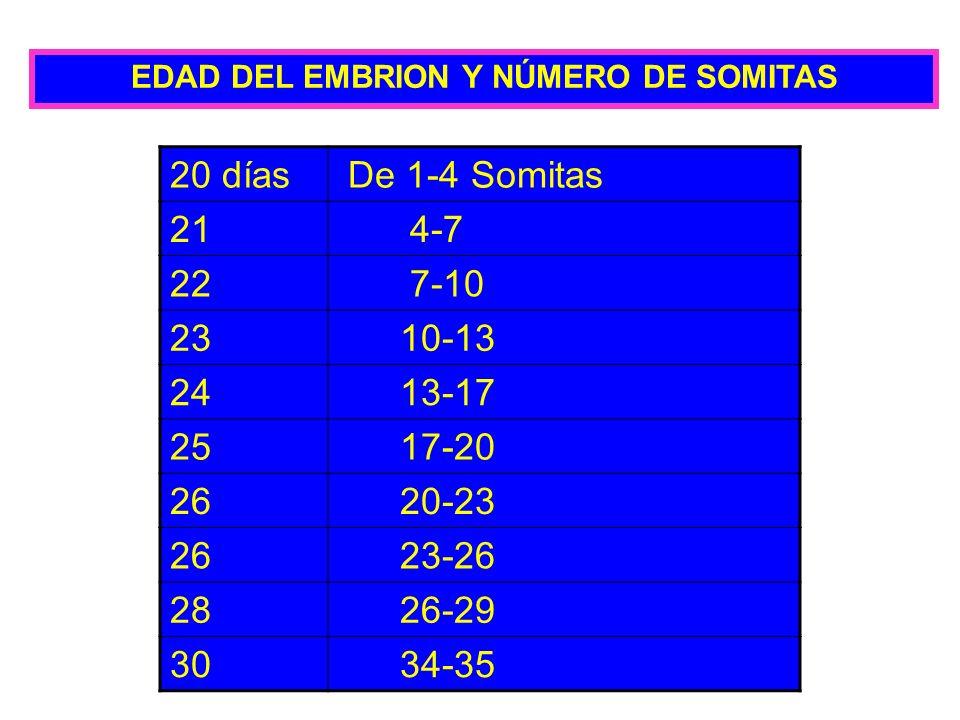 EDAD DEL EMBRION Y NÚMERO DE SOMITAS 20 días De 1-4 Somitas 21 4-7 22 7-10 23 10-13 24 13-17 25 17-20 26 20-23 26 23-26 28 26-29 30 34-35