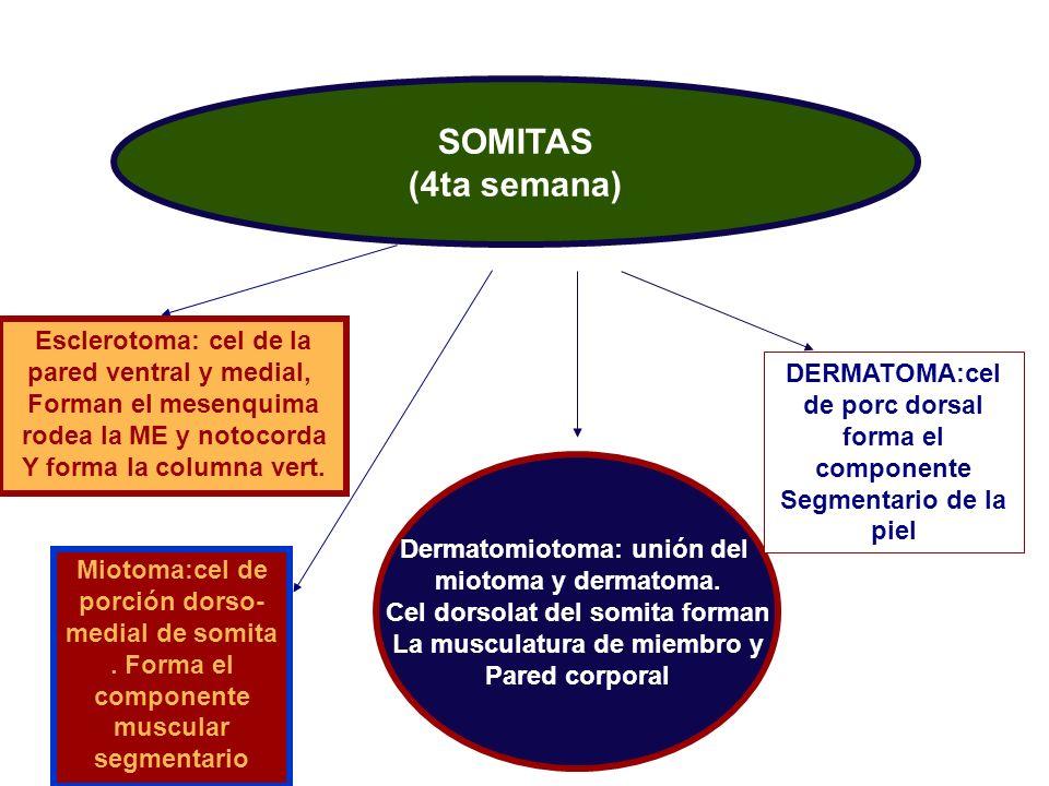SOMITAS (4ta semana) Esclerotoma: cel de la pared ventral y medial, Forman el mesenquima rodea la ME y notocorda Y forma la columna vert. Miotoma:cel
