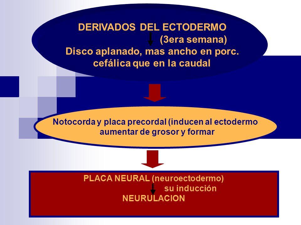 DERIVADOS DEL ECTODERMO (3era semana) Disco aplanado, mas ancho en porc. cefálica que en la caudal Notocorda y placa precordal (inducen al ectodermo a