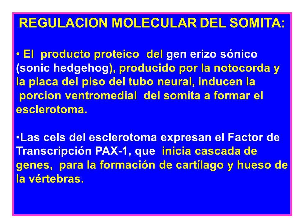 REGULACION MOLECULAR DEL SOMITA: El producto proteico del gen erizo sónico (sonic hedgehog), producido por la notocorda y la placa del piso del tubo n