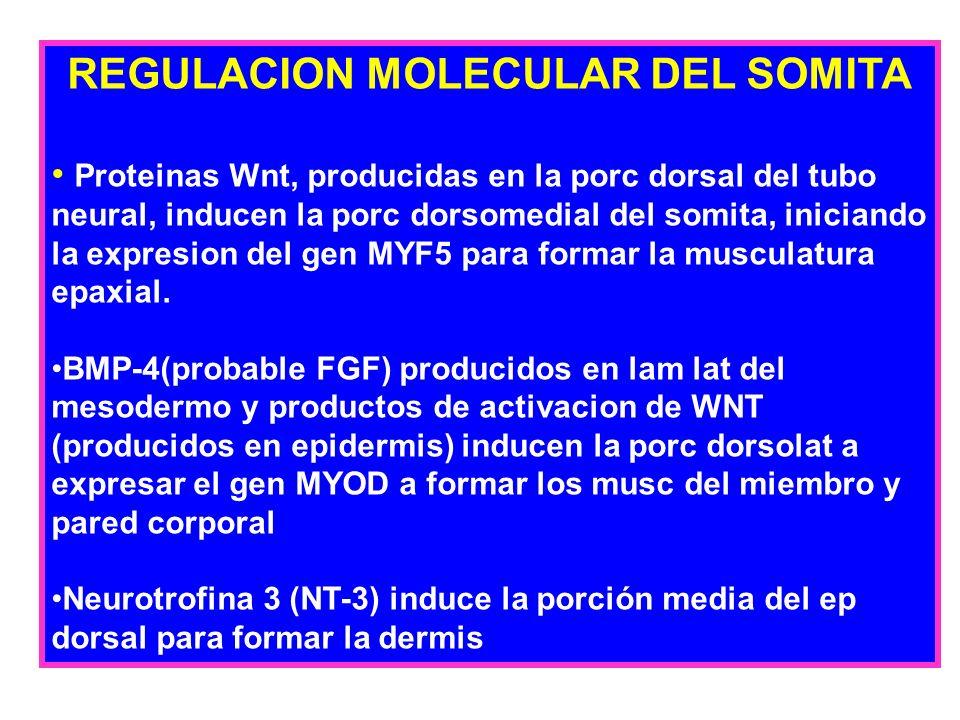 REGULACION MOLECULAR DEL SOMITA Proteinas Wnt, producidas en la porc dorsal del tubo neural, inducen la porc dorsomedial del somita, iniciando la expr