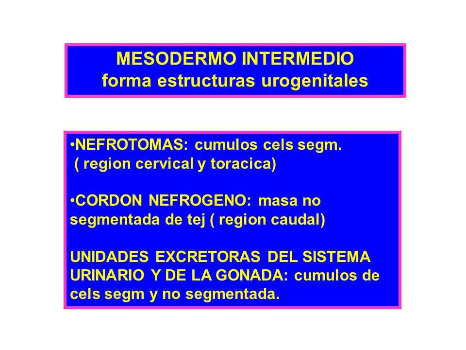 MESODERMO INTERMEDIO forma estructuras urogenitales NEFROTOMAS: cumulos cels segm. ( region cervical y toracica) CORDON NEFROGENO: masa no segmentada