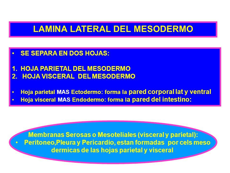 LAMINA LATERAL DEL MESODERMO SE SEPARA EN DOS HOJAS: 1.HOJA PARIETAL DEL MESODERMO 2. HOJA VISCERAL DEL MESODERMO Hoja parietal MAS Ectodermo: forma l