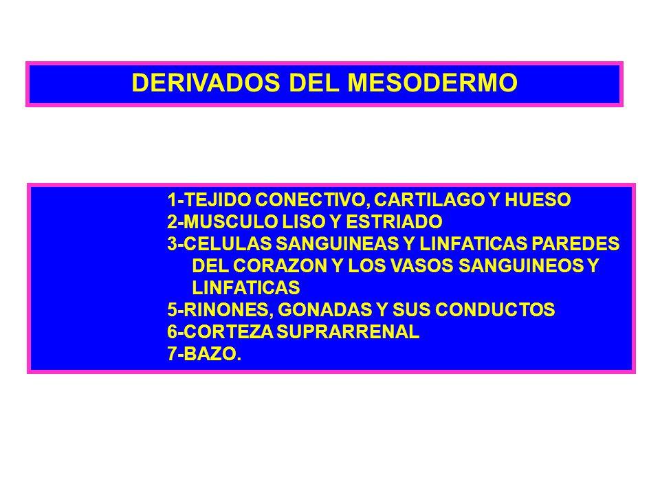 DERIVADOS DEL MESODERMO 1-TEJIDO CONECTIVO, CARTILAGO Y HUESO 2-MUSCULO LISO Y ESTRIADO 3-CELULAS SANGUINEAS Y LINFATICAS PAREDES DEL CORAZON Y LOS VA