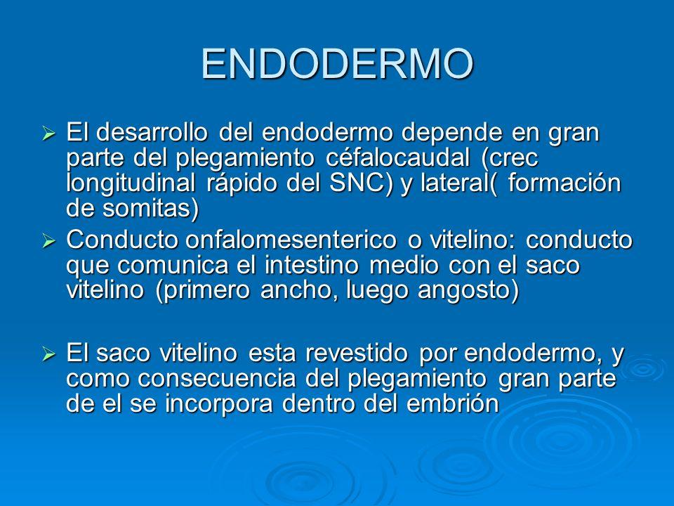 ENDODERMO El desarrollo del endodermo depende en gran parte del plegamiento céfalocaudal (crec longitudinal rápido del SNC) y lateral( formación de so