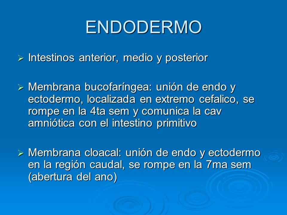 ENDODERMO Intestinos anterior, medio y posterior Intestinos anterior, medio y posterior Membrana bucofaríngea: unión de endo y ectodermo, localizada e