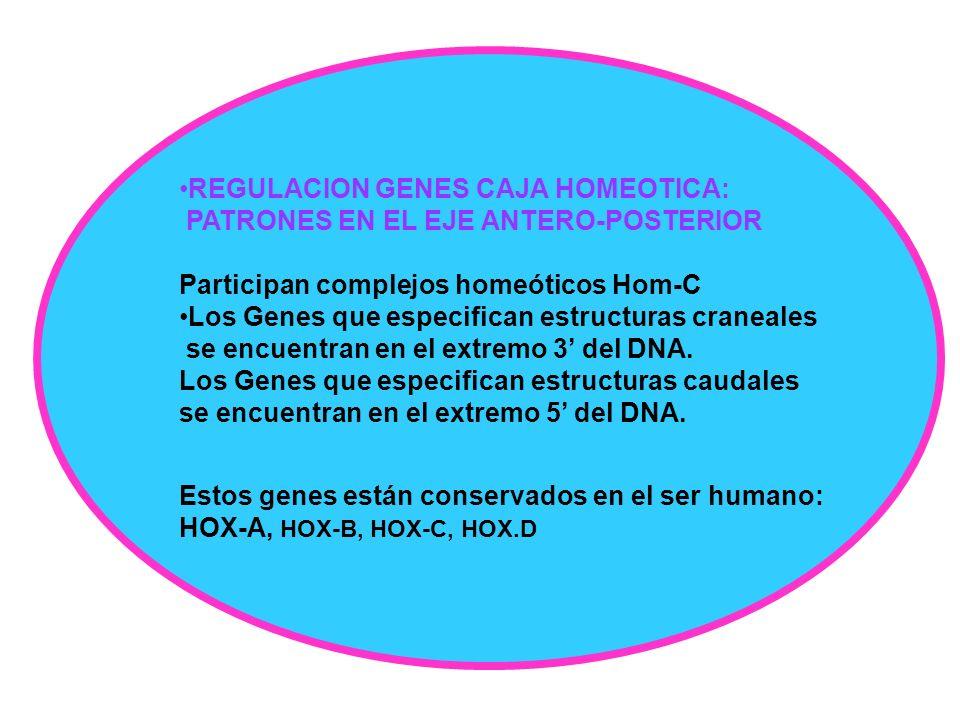 REGULACION GENES CAJA HOMEOTICA: PATRONES EN EL EJE ANTERO-POSTERIOR Participan complejos homeóticos Hom-C Los Genes que especifican estructuras crane