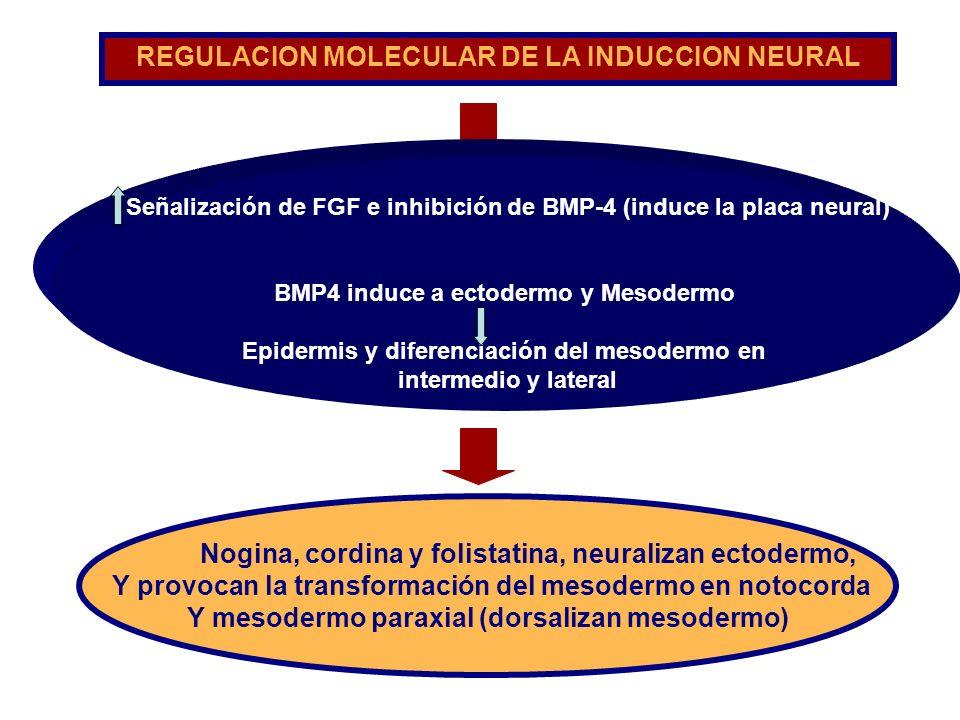 Nogina, cordina y folistatina, neuralizan ectodermo, Y provocan la transformación del mesodermo en notocorda Y mesodermo paraxial (dorsalizan mesoderm