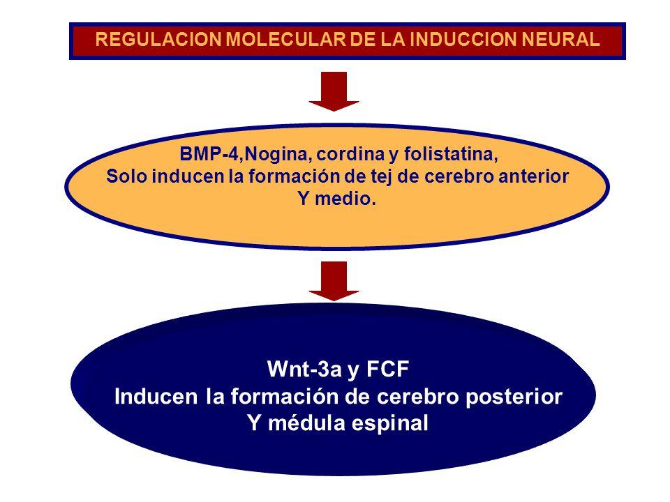 BMP-4,Nogina, cordina y folistatina, Solo inducen la formación de tej de cerebro anterior Y medio. REGULACION MOLECULAR DE LA INDUCCION NEURAL Wnt-3a