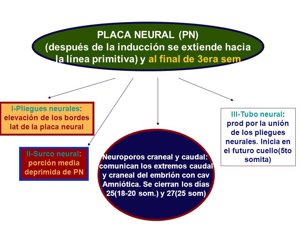 PLACA NEURAL (PN) (después de la inducción se extiende hacia la línea primitiva) y al final de 3era sem I-Pliegues neurales: elevación de los bordes l