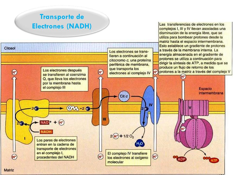 Transporte de Electrones (NADH)