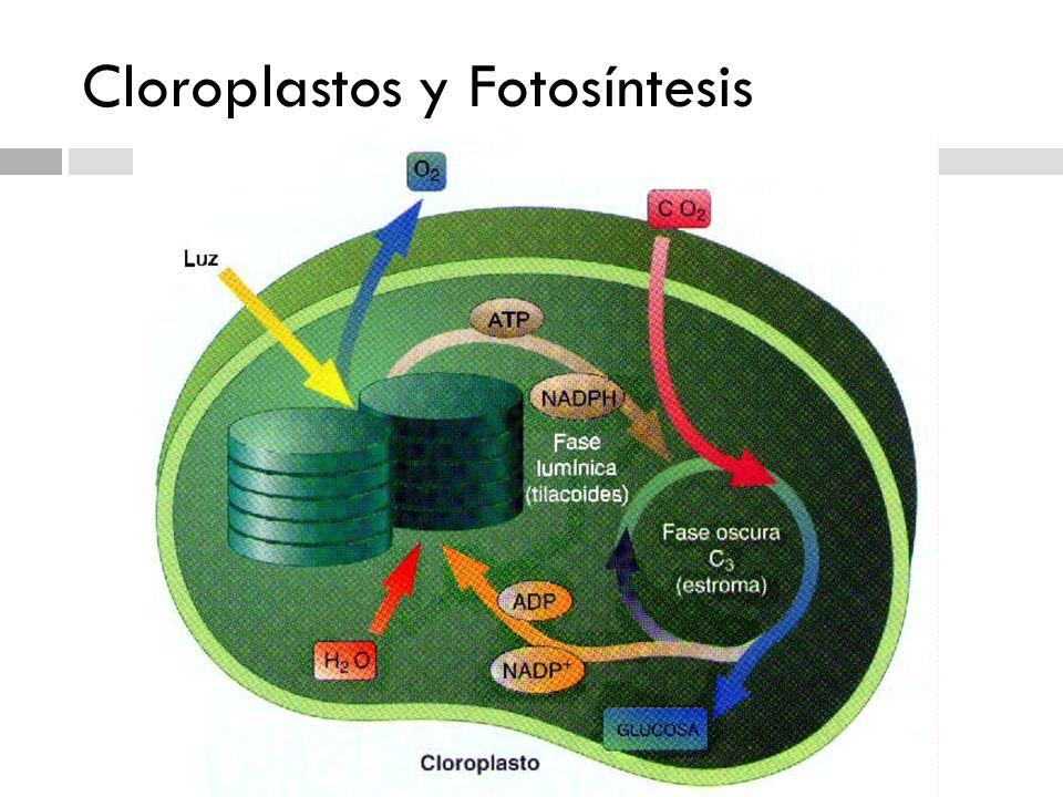 Cloroplastos y Fotosíntesis