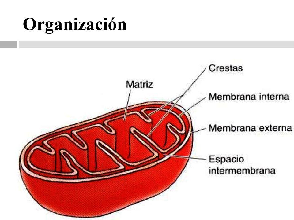 Transporte de electrolitos a través de la Membrana Interna
