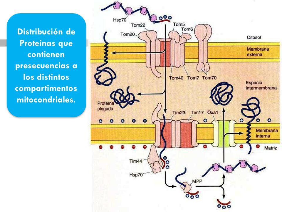 Distribución de Proteínas que contienen presecuencias a los distintos compartimentos mitocondriales.