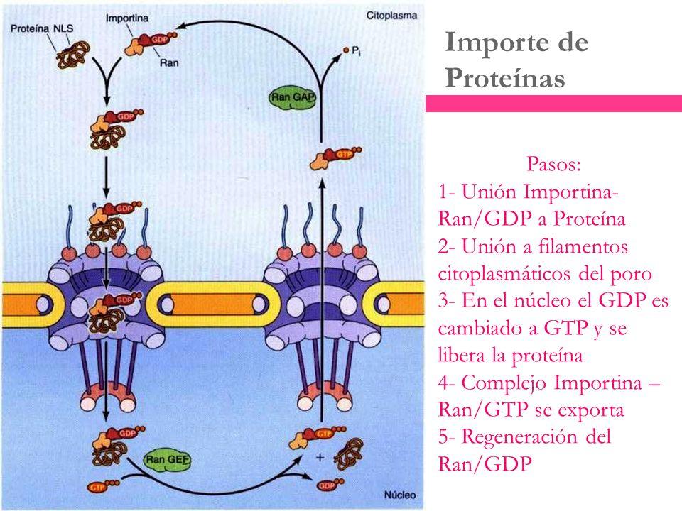 Importe de Proteínas Pasos: 1- Unión Importina- Ran/GDP a Proteína 2- Unión a filamentos citoplasmáticos del poro 3- En el núcleo el GDP es cambiado a