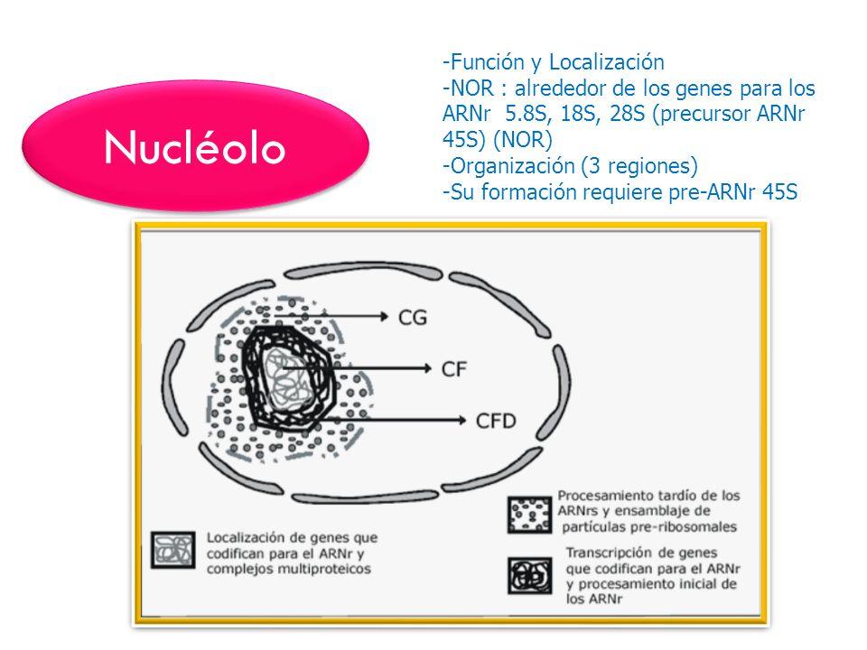 Nucléolo -Función y Localización -NOR : alrededor de los genes para los ARNr 5.8S, 18S, 28S (precursor ARNr 45S) (NOR) -Organización (3 regiones) -Su