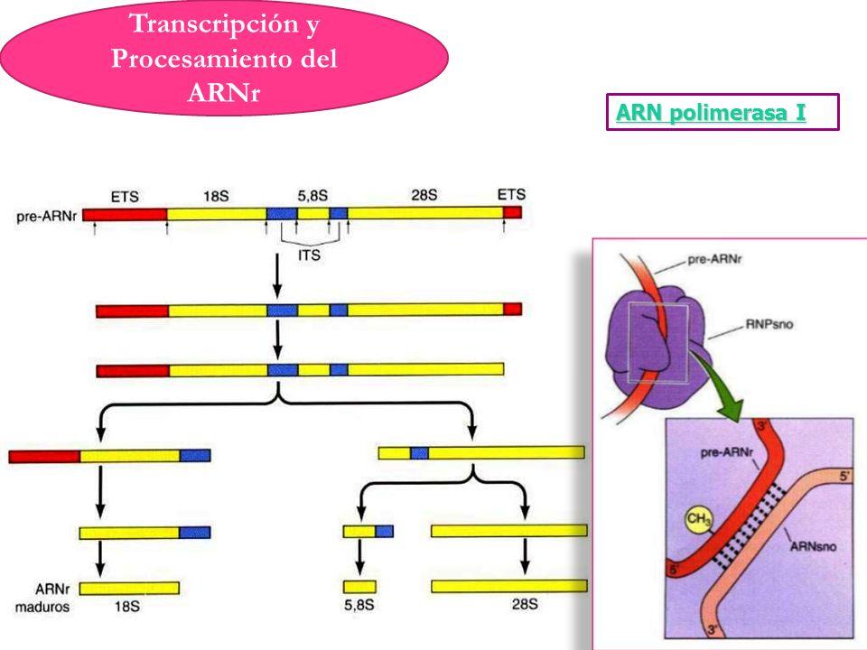 Transcripción y Procesamiento del ARNr ARN polimerasa I