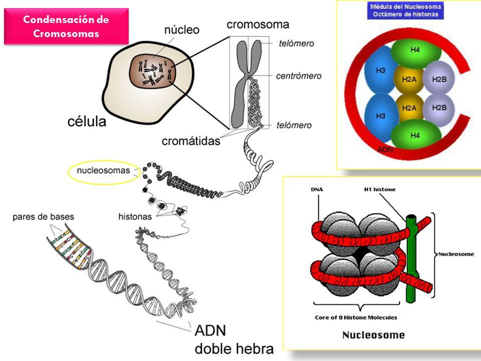 Condensación de Cromosomas