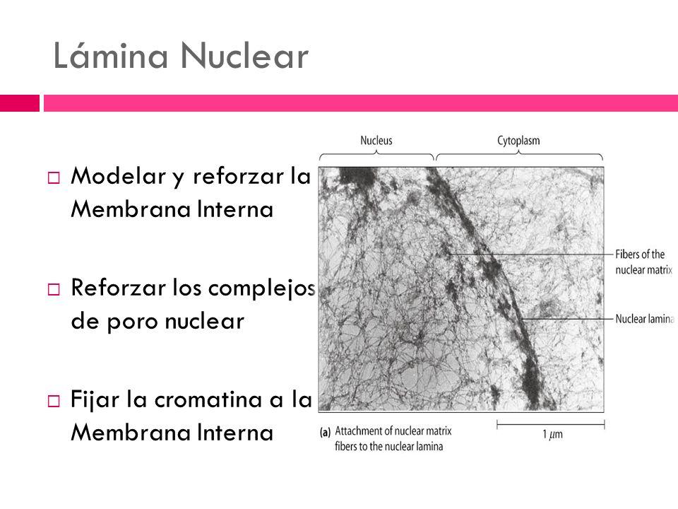 Lámina Nuclear Modelar y reforzar la Membrana Interna Reforzar los complejos de poro nuclear Fijar la cromatina a la Membrana Interna