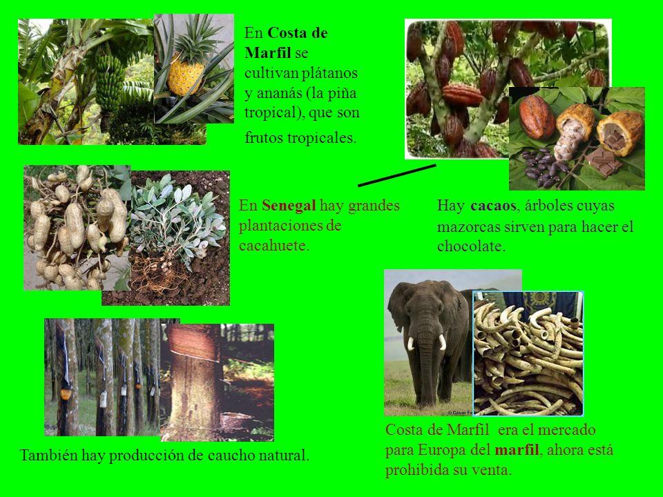 En Costa de Marfil se cultivan plátanos y ananás (la piña tropical), que son frutos tropicales. Hay cacaos, árboles cuyas mazorcas sirven para hacer e