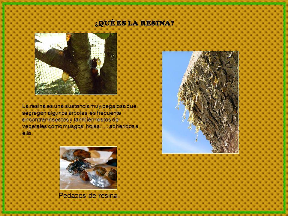La resina es una sustancia muy pegajosa que segregan algunos árboles, es frecuente encontrar insectos y también restos de vegetales como musgos, hojas