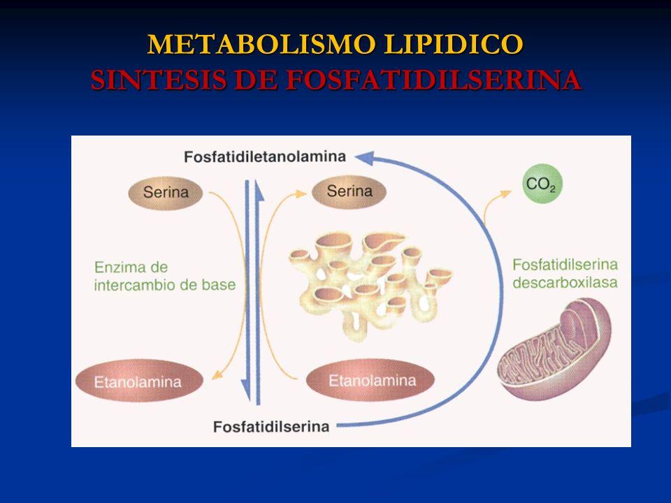 METABOLISMO LIPIDICO SINTESIS DE FOSFATIDILSERINA